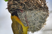 Southern Masked Weaver Feeding Chicks