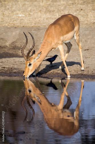 Impala (Aepyceros melampus) South Africa, Mpumalanga, Timbavati Nature Reserve