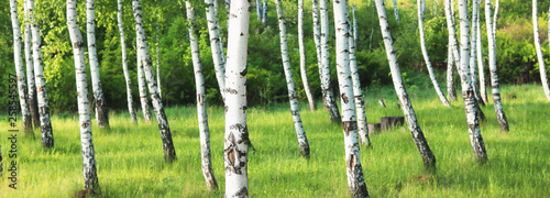 Papiers peints Bosquet de bouleaux Beautiful birch trees with black and white birch bark in spring in birch grove against the background of other birches