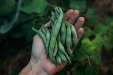 Hand Of Farmer Holding Freshly...