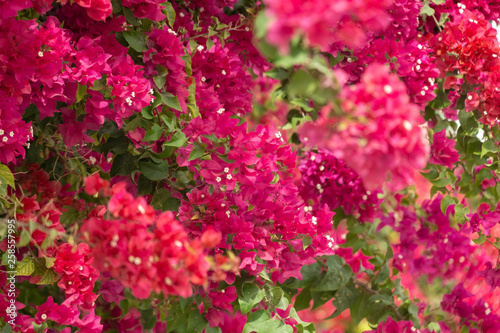 Close up of Blooming Magenta bougainvillaea Fototapete