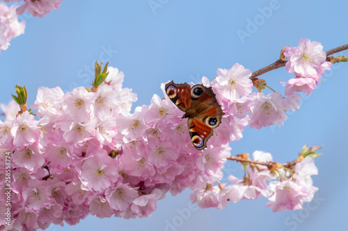 Fotografie, Tablou  Peacock butterfly (aglais io) collecting nectar pollen from white pink cherry bl