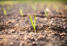 Young Garlic Growing In A Garden,sunlight