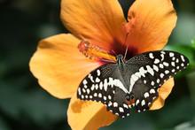 """Schmetterling """"Schachbrett"""" (M..."""