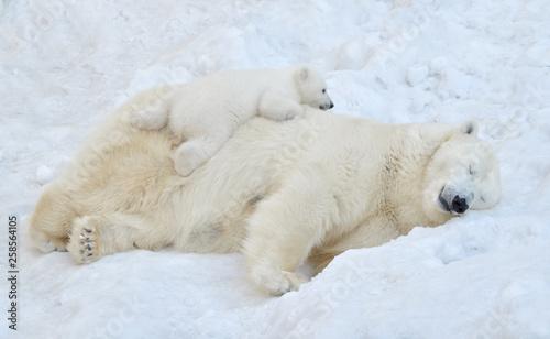 Photo polar bear in the snow