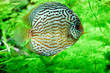 Leinwandbild Motiv discus fish in aquarium, tropical fish. Symphysodon discus from Amazon river. Blue diamond, snakeskin, red turquoise and more