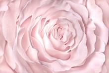 Pink, Rose, Rose Close-up Soft Blur Focus