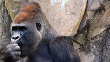 Gorillas Are Ground-dwelling, ...