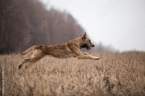 Photo  Dog breed Belgian Shepherd Lackenois running in the field Lakenua