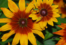 Rudbeckia. The Species Are Commonly Called Coneflowers And Black-eyed-susans; All Are Native To North America And Many Species Are Cultivated In Gardens For Their Showy Yellow Or Gold Flower Heads.