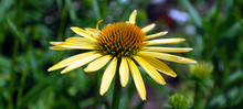 Rudbeckia. The Species Are Com...
