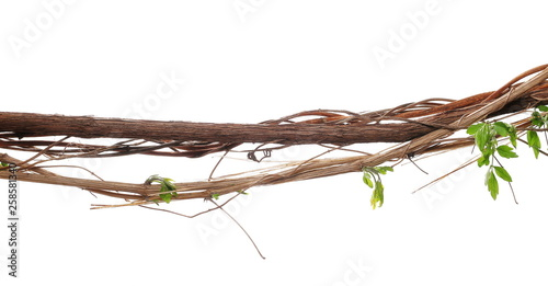 Wild dry liana, jungle vine isolated on white background, clipping path Wallpaper Mural