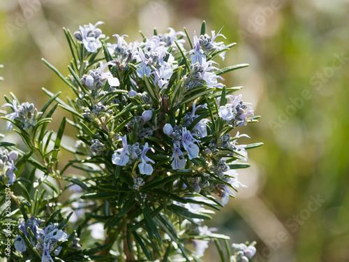 Fotomural  Romarin en fleurs 'Rosmarinus officinalis'