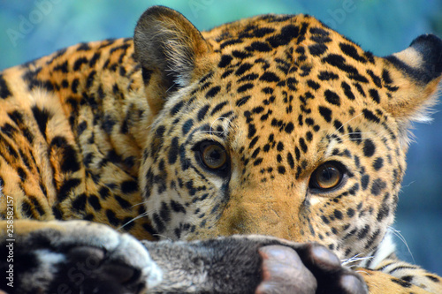 Fototapety, obrazy: Jaguar is a cat, a feline in the Panthera genus only extant Panthera species native to the Americas. Jaguar is the third-largest feline after the tiger and lion, and the largest in the Americas.
