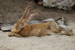 canvas print picture - Full body of domestic male brown Flemish giant rabbit