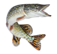 Fish Pike Isolated. Freshwater...
