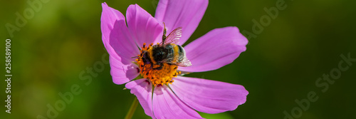 bumblebee collects nectar from a pink-purple flower, close-up. Fototapeta