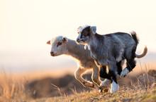 Cute Kid And Lamb Running At F...