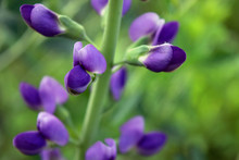 Close-up Of Wild Blue Indigo