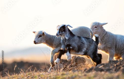 Fotografiet  cute kid and lamb running at farm in spring
