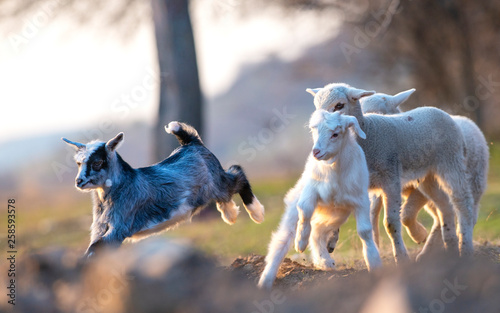 Fotografiet  Little goat and lambs running and jumping