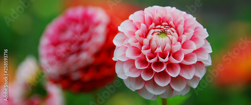 Poster de jardin Dahlia Dahlia is a genus of bushy, tuberous, perennial plants native to Mexico, Central America, and Colombia. There are at least 36 species of dahlia, some like D. imperialis up to 10 metres tall.