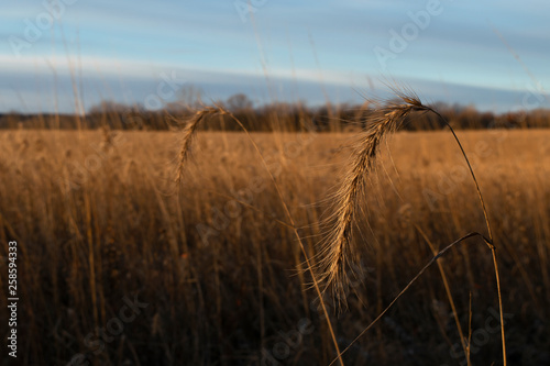 Fotografie, Obraz  Canadian wild rye grasses in native prairie restoration in early morning sunligh