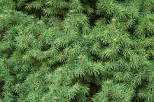 Picea Glauca Albertiana Green Plant Background