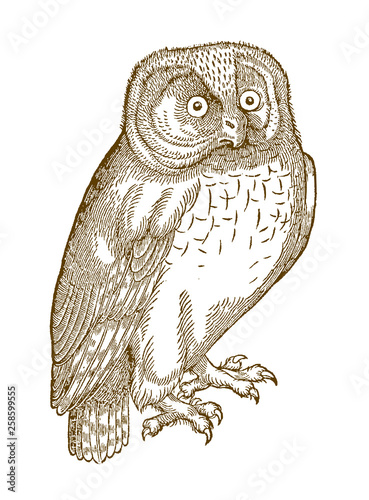Recess Fitting Owls cartoon Northern hawk-owl (surnia ulula) in quarter front view. Illustration after a historic woodcut from the 16th century