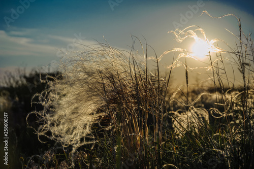 Fotografiet A ray of sunshine through a bush of feather grass against the backdrop of a suns