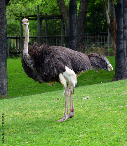 Stickers pour porte Autruche The Ostrich is one or two species of large flightless birds native to Africa, the only living member(s) of the genus Struthio.