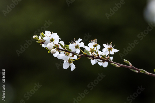 Fotografie, Obraz  single branch of cherry tree with white cherry flowers blooming in front of dark