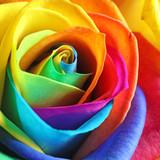Fototapeta Tęcza - Amazing rainbow rose flower as background