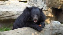 Asiatic Black Bear In Zoo Thai...