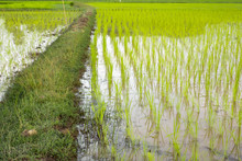 Green Garss Foot In Rice Paddy...