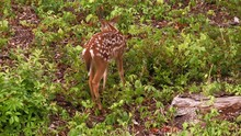 Close Up Fawn Grazing Harrassed By Insects