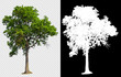 Leinwandbild Motiv single tree on transparent picture background with clipping path, single tree with clipping path and alpha channel on black background