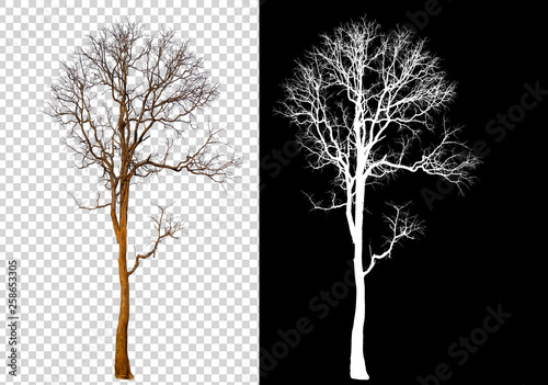 Obraz single tree on transparent picture background with clipping path, single tree with clipping path and alpha channel on black background - fototapety do salonu