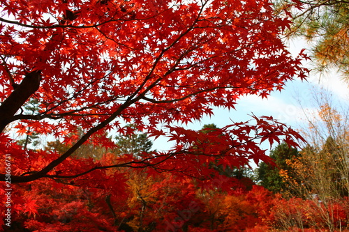 Keuken foto achterwand Rood paars 京都の紅葉
