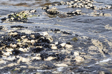 Continually Washed Clean By The Ocean Tides, A Bed Of Mussels And Oysters Grows On Rocks At The Edge Of The Sea.