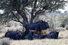 A Family Herd Of Blue Wildebeest Resting, Etosha National Park, Namibia.
