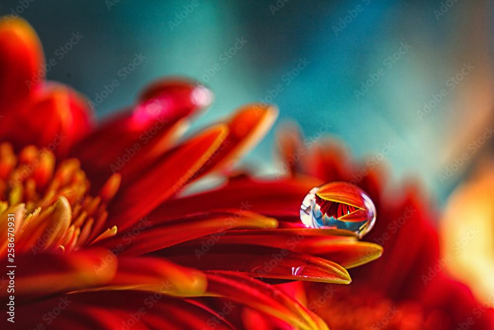 Fototapeta Gerbera mit Wassertropfen