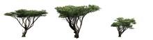 Set Of Acacia Trees - Isolated On White Background