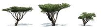 Set Of Acacia Trees With Shado...