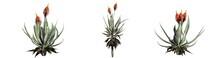 Set Of Aloe Vera Plants - Isolated On A White Background