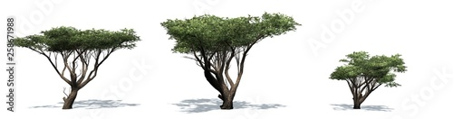 Set of Acacia trees with shadow on the floor - isolated on white background