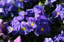 Dark Blue Wild Pansy Or Viola Tricolor Or Johnny Jump Up Or Heartsease Or Hearts Ease Or Hearts Delight Or Tickle My Fancy Or Jack Jump Up And Kiss Me Or Come And Cuddle Me Or Three Faces In A Hood Or