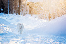 White Dog Spitz Walks In Winte...