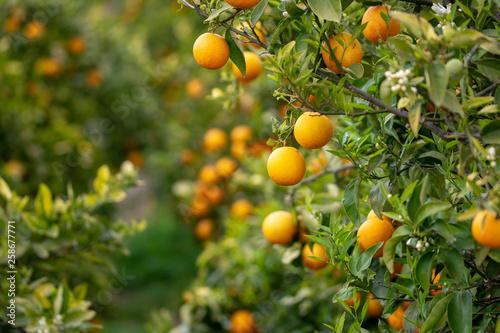 Fotografie, Obraz  Naranjas en el árbol