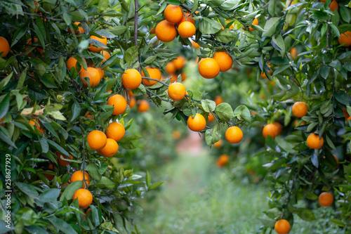 Fototapeta  Naranjas en el árbol